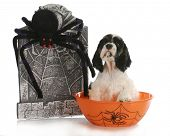 halloween puppy - cocker spaniel puppy sitting in bowl with tombstone and spider poster