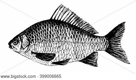 Crucian, Carp. Fish Collection. Healthy Lifestyle, Delicious Food, Ichthyology Scientific Drawings.