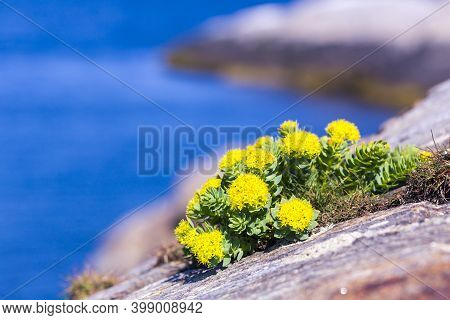 Arctic Flowers Close Up Tundra View, Barents Sea.