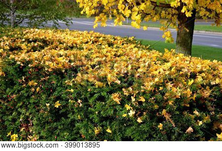 Maple In Autumn Yellow Color. Taxus Baccata Is An Evergreen Conifer Suitable For Both Low And High H