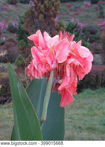Beautiful Flower (kalavati) Image.  There Are Beautiful Kalavati Flowers Blooms In The Tree. Image C