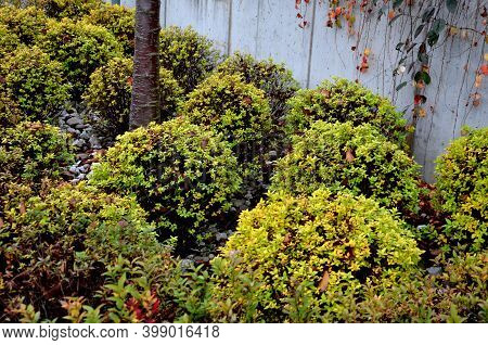 Yellow-leafed Low Bushes In A Flowerbed On The Street, Shaped Into A Sphere. Creates A Compact, Sphe
