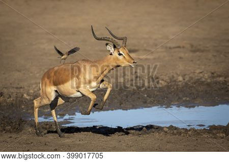 Male Impala With Muddy Legs Running Near Water's Edge In Kruger Park In South Africa