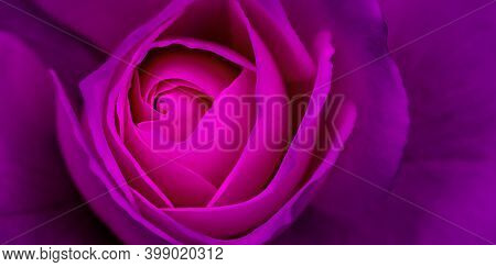 Abstract Floral Background, Purple Rose Flower Petals. Macro Flowers Backdrop For Holiday Design. So