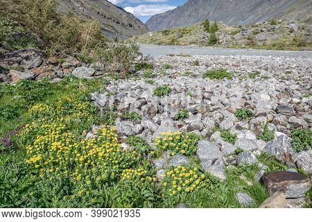 Beautiful Summer Landscape With Yellow Exotic Flowers Rhodiola Rosea Growing On Stones Against The B
