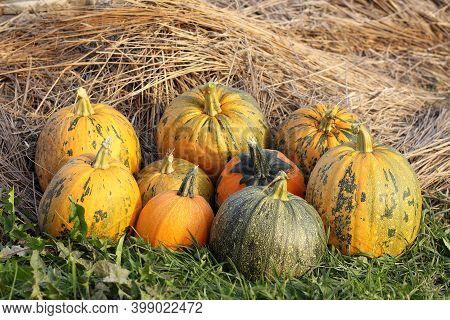 Nine Pumpkins On The Grass Against A Background Of Hay. Autumn Harvest Of Vegetables