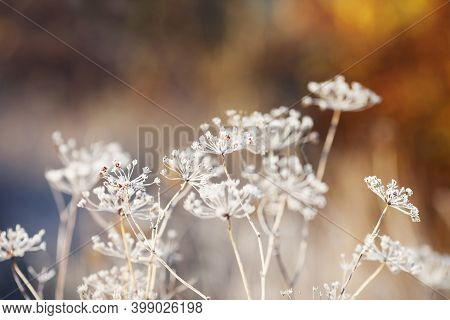Frost Covered  Wild Flowers. First Frost In Autumn Countryside Meadow. Orange Autumn Background. Sof