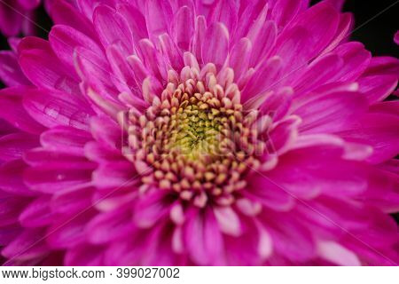 Flowers Astra Close-up. Bright Pink Buds Of Beautiful Asters. Autumn Flowers. Photo For Computer. Ma