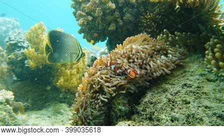 A Clown Anemonefish Sheltering Among The Tentacles Of Its Sea Anemone. Underwater World With Corals