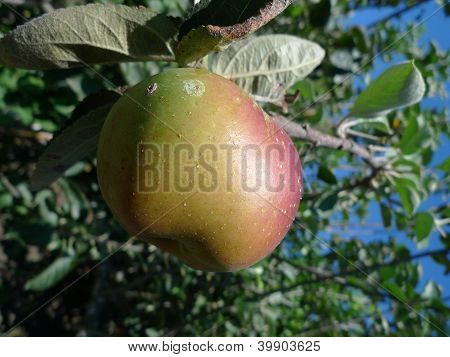 almost mature apple