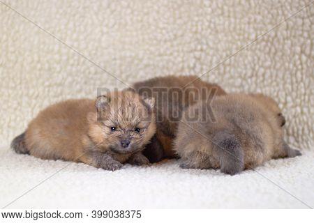 Three Small, Purebred Pomeranian Puppies, Orange Color Lie On A Light Background. Breeding Purebred