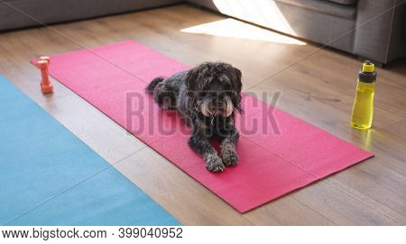 Dog lying on a yoga karimata in a living room. looking at the camera with curiosity.
