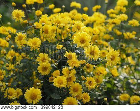 Chrysanthemum Indicum Scientific Name Dendranthema Morifolium, Flavonoids,closeup Pollen Of Yellow F