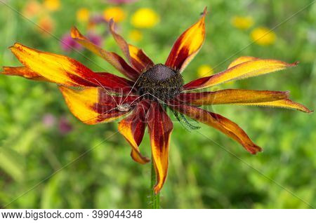 Rudbeckia Flower With A Haymaker Spider (lat. Opiliones)