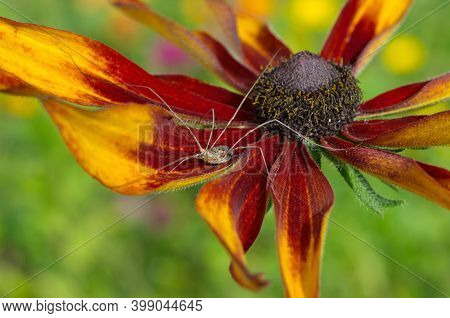 Haymaker Spider (lat. Opiliones) On Flower Of Rudbeckia  Close-up. The Opiliones Are An Order Of Ara