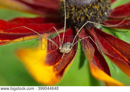 Opiliones On Flower Of Rudbeckia  Close-up. The Opiliones Are An Order Of Arachnids Colloquially Kno