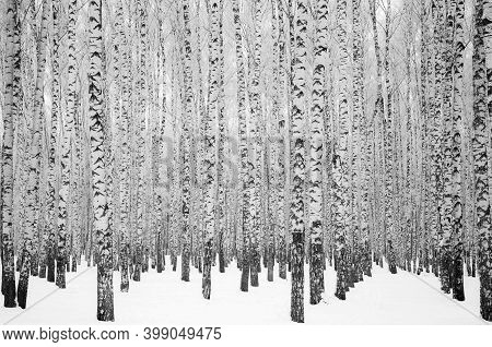 Trunks Of Winter Snow-covered Birch Trees In Black And White Color