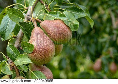 Ripening Ripe Beautiful Juicy Pears Fruit On A Branch, Pear Tree In The Garden