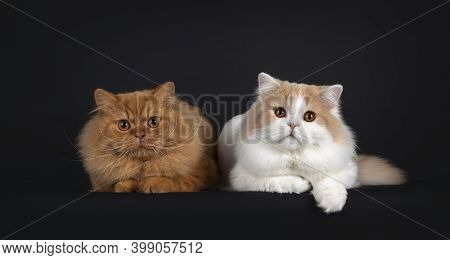 Majestic Floofy Red Solid And Creme With White Young Adult British Longhair Cats, Laying Down Beside