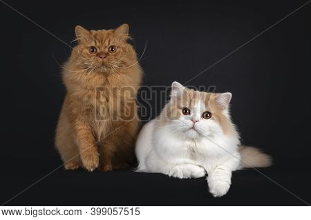 Majestic Floofy Red Solid And Creme With White Young Adult British Longhair Cats, Laying And Sitting