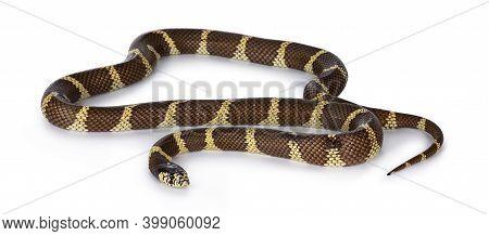 Adult California Kingsnake Aka Lampropeltis Getula Californiae Snake, Isolated On White Background