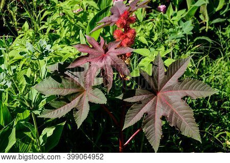 Fresh Green Organic Flowers And Leaves Of Ricinus Communis, The Castor Bean Or Castor Oil Plant In A