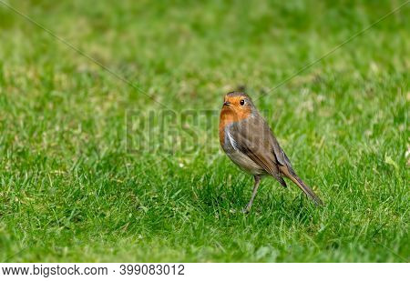 Male adult robin, erithacus rubecula, on green grass background.  Space for text.
