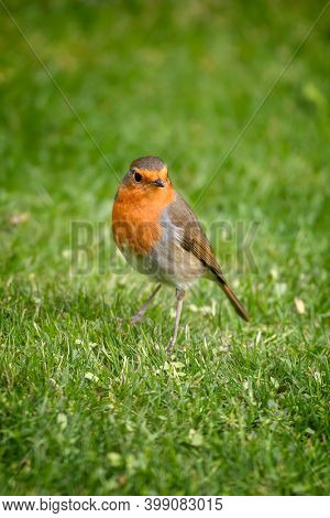 Adult male robin, erithacus rubecula, on green grass background.  Vertical format.