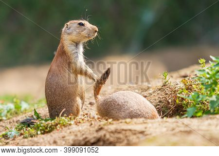 Ground Squirrel - Spermophilus Citellus Stands In A Meadow And The Other Ground Squirrel Climbs Into