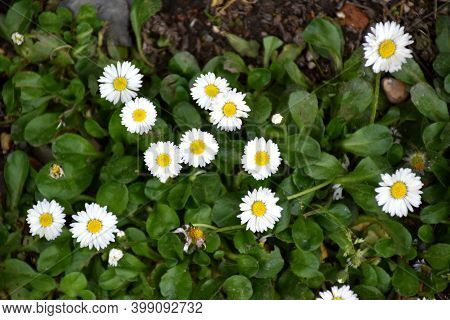 Daisy Flowers (bellis Perennis), Symbol Of Innocence And Purity.