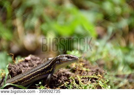 Iberian Lizard (podarcis Hispanicus) Basking In The Sun On The Grass.