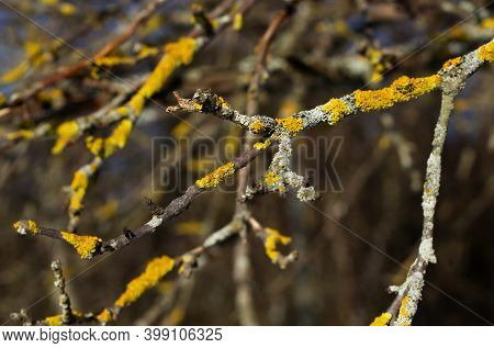 Natural Abstract Background. Yellow Lichen On Tree Branches. Dry Tree Branches Against The Blue Sky.