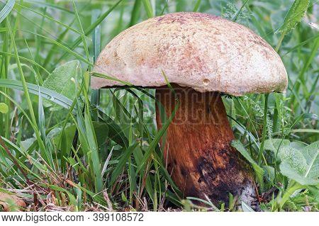 The Lurid Bolete (suillellus Luridus) Is An Edible Mushroom
