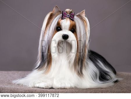 Studio photography of a Biewer Yorkshire Terrier on grey backgrounds