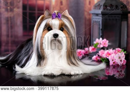 puppy dog Biewer Yorkshire Terrier and pink flowers