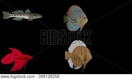 3d Rendered Fish Isolated On Black Background. Fishy Trios,betta Fish, Discus