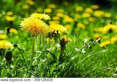 Many Yellow Dandelions On The Green Field With Lush Grass On The Backyard Highlighted By The Bright