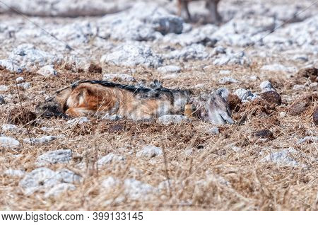 A Dead Black-backed Jackal, Canis Mesomelas, With A Tracking Collar