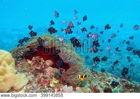 Dascyllus Fish And Clown Fish Near Sea Anemone. Tropical Coral Reef.