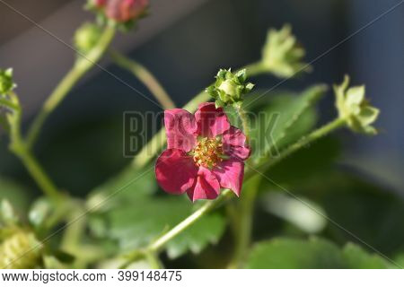 Strawberry Toscana Pink Flower - Latin Name - Fragaria X Ananassa Toscana