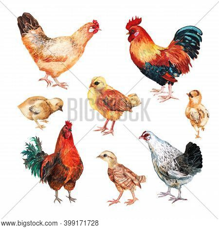 Set Of Watercolor Images Of Hens, Cocks And Chicken. Hand Drawn Illustration Isolated On White Backg