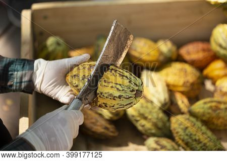 Fresh Cocoa With Cocoa Pods And Cocoa Fruit Cut In Half. Cacao Pod Cut Open To Show Cocoa Beans Insi