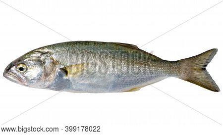 Single Sea Fish (bluefish, Pomatomus Saltatrix) Isolated On White, Top View