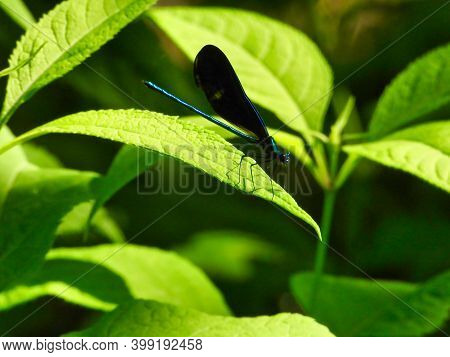Ebony Jewelwing Dragonfly With Detail Sits On Green Leaf With Slight Shadow On Leaf From Legs Surrou