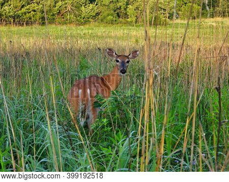 White-tailed Deer Gives Glancing Look Backward While Standing In High Grass Prairie With Both Ears U