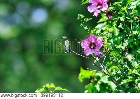 Ruby-throated Hummingbird Perched On Rose Of Sharon Bush Next To Hibiscus Flower Blooms And Green Le