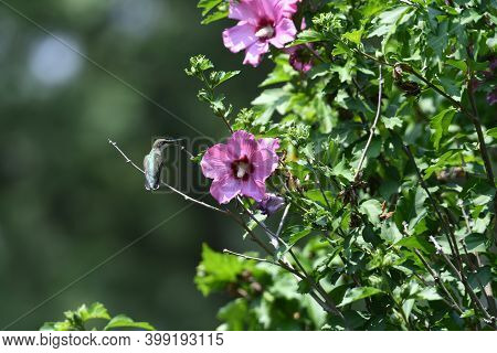 Ruby-throated Hummingbird Perched On Rose Of Sharon Bush Near Flower Bloom With Beak Open And Pollen