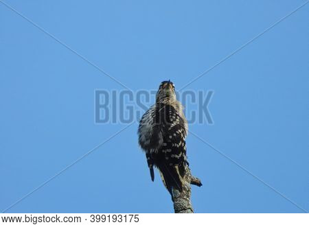 Downy Woodpecker Bird Sits On Top Of Tree Trunk With Bright Blue Sky In Background