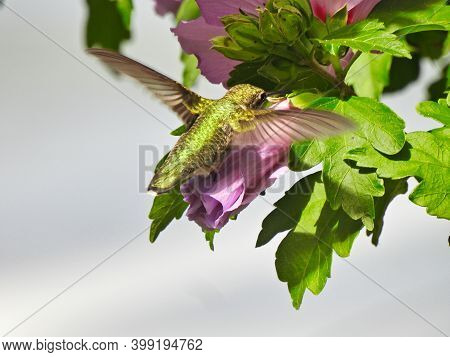 Ruby-throated Hummingbird Gathers Nectar While Hovering Over Purple Hibiscus Bloom