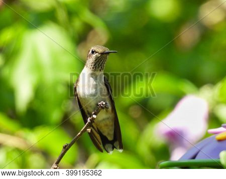 Young Male Ruby-throated Hummingbird As Red Throat Feathers Begin To Show Perched On Bush Stem And G